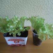 Salati taimed