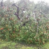 Õun - Talvenauding