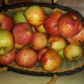 Õun - Sügisjoonik