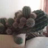 kaktusetaimed