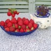 Vaarika,maasika,kultuurmustika taimed