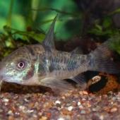 Akvaariumisse põhjakoristaja kala