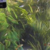 Akvaariumikalad Gupid