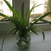 Noored taimed (tups-rohtliilia)