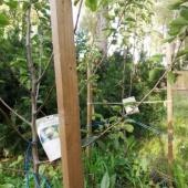 Kaks pirnipuu taime