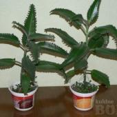 Kalanhoe taimed (nohulill)