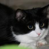 Isane pikakarvaline kass