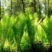 Sõnajala taimed