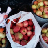 Õunad