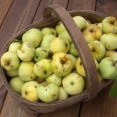 Korvitäis maha kukkunud õunu.