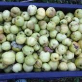 Antoonovka - õunad